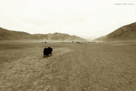 afternoons whip up crazy dust storms on the Morey Plains. a bunch of dzos and dzomos (mixed breed of yak and cow) head towards a watering hole in the high altitude desert